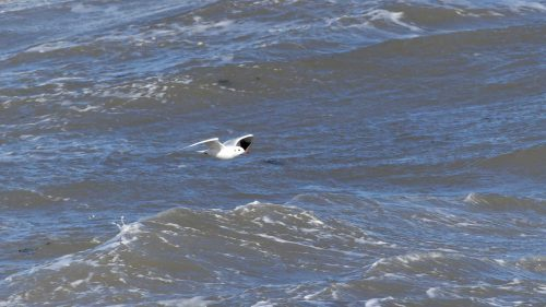 161005-1346-rhos-point-blk-hded-gull-over-stormy-sea