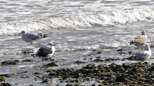 161005-1353-rhos-point-great-blk-bckd-gulls