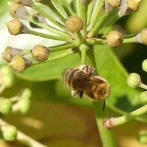 161006-rosrc-ivy-bee-4