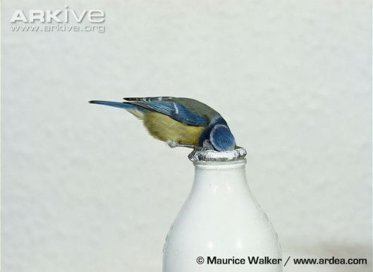 blue-tit-drinking-from-milk-bottle