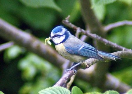 150529dc-blue-tit-with-caterpillars-1