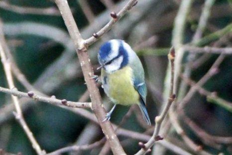 161122-tgbe-blue-tit