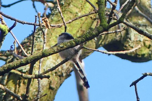 170102-berc-17-long-tailed-tit