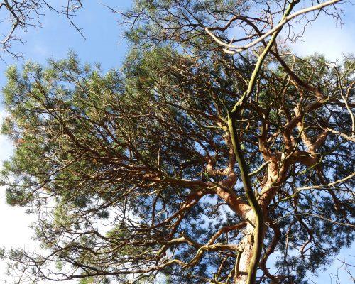 170102-berc-6-scots-pine