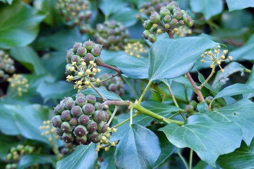 Ivy berries are in varying stages of ripeness
