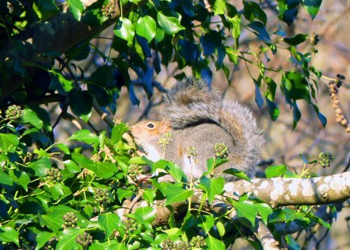 170105-berc-grey-squirrel-guarding-ivy-berries-1