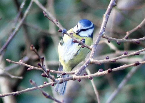 170111-berc043-blue-tit-finding-insects