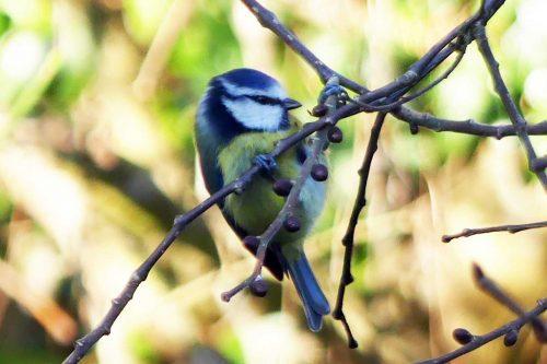 250117-blue-tit-front