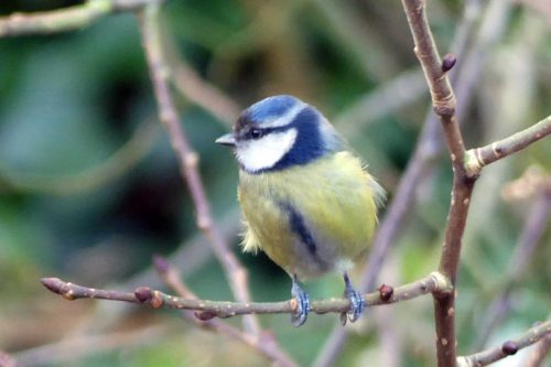250117-blue-tit-with-dark-brow-4