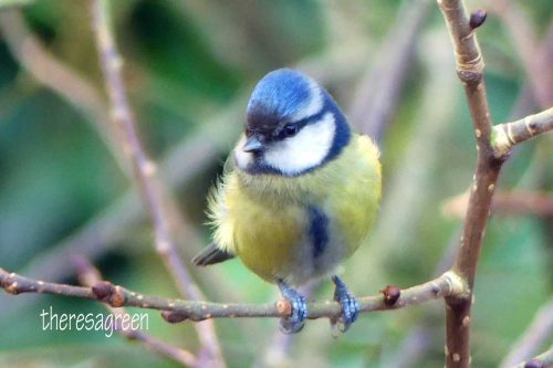 250117-blue-tit-with-dark-brow-9a