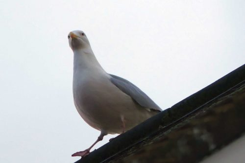 170109-rosrc03-herring-gull-on-roof-edge