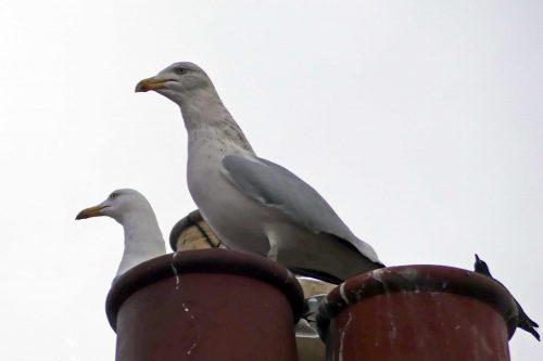 herring gulls nesting on roofs   everyday nature trails
