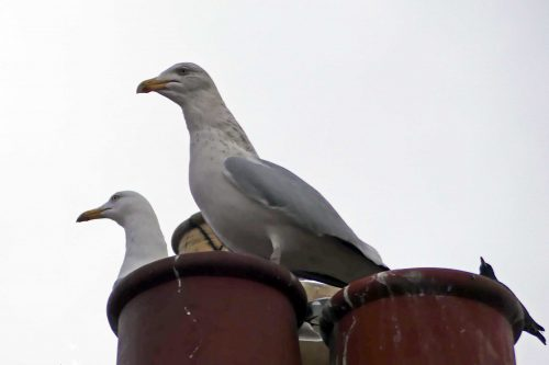 170109-rosrc05-herring-gull-pair-defending-nest-site