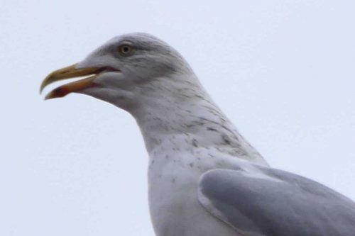 170109-rosrc06c-herring-gull-male-scabby-eye