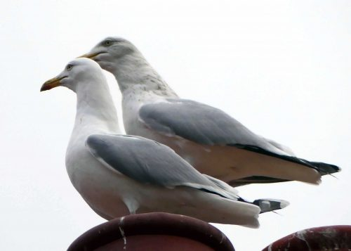 170109-rosrc13-herring-gull-pair