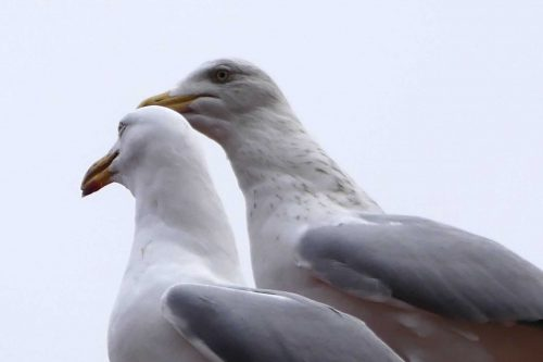 170109-rosrc14-herring-gull-pair