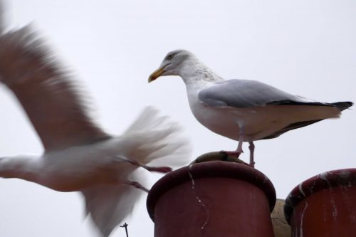 170109-rosrc15-herring-gull-pair