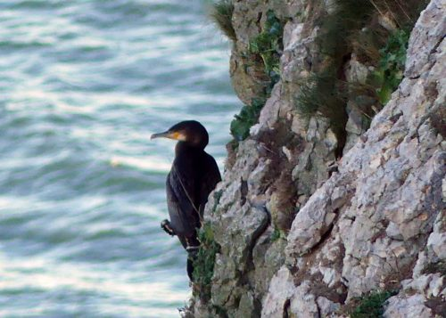 170120-lo-100-cormorant-on-cliff-face-1a