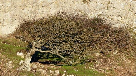 170120-lo-114-hawthorn-tree