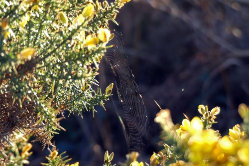 170120-lo-119-spiders-web-on-gorse-1