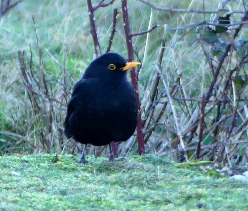 170120-lo-12-blackbird-1