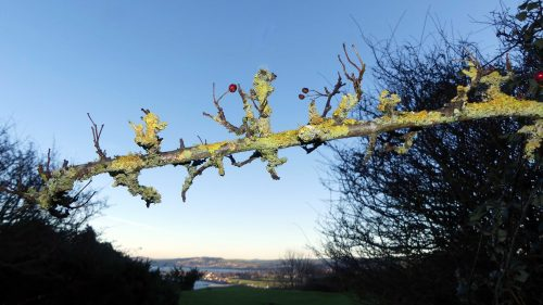 170120-lo-127-lichen-covered-hawthorn-twig