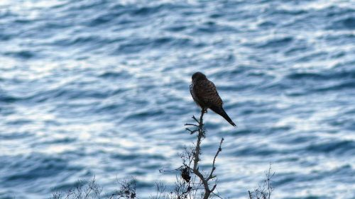 170120-lo-131-kestrel-looking-out-to-sea