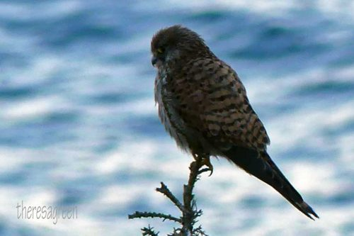 170120-lo-138-kestrel-looking-out-to-sea-2