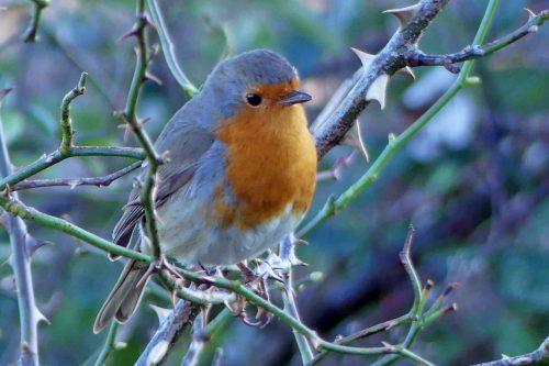 170120-lo-16-robin-singing-quietly-1