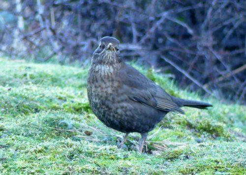 170120-lo-19-blackbird-f-with-grass-in-beak-1