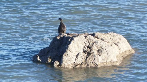 170120-lo-2-cormorant-1a