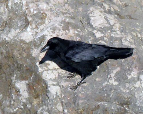 170120-lo-24-crow-2-shadow-1