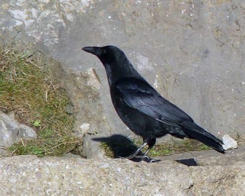 170120-lo-26-crow-2-1