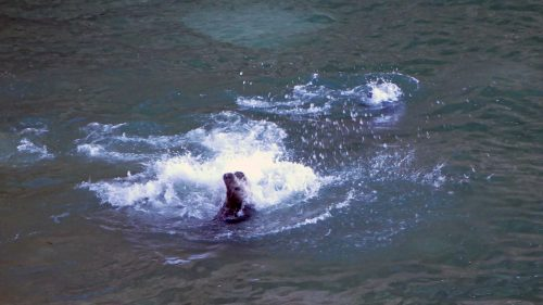 170120-lo-47-grey-seal-interaction-8a