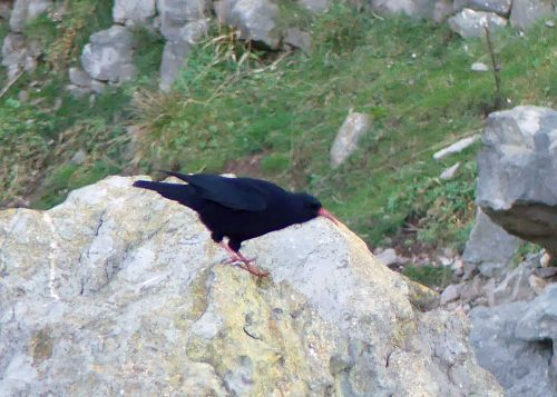 170120-lo-63-1524-chough-at-cliff-base-1a