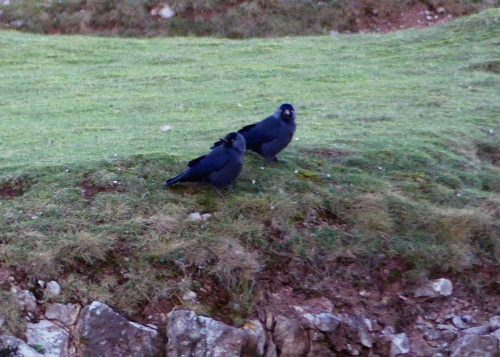 170120-lo-80-jackdaw-pair-on-cliff-edge-1a