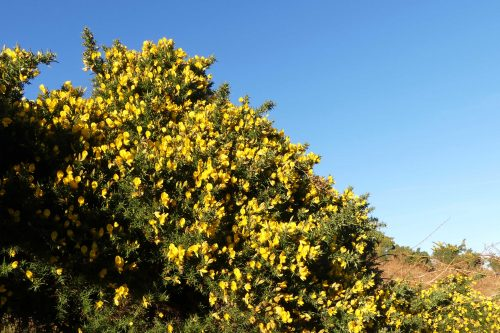 170120-lo-93-glorious-gorse-1a