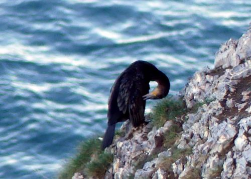 170120-lo-98-1605-cormorant-on-cliff-1a