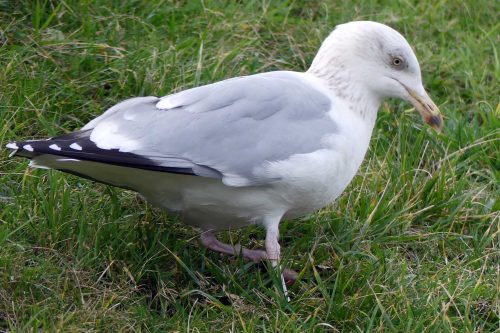 170124-rosprm-herring-gull-paddling-for-worms-scabby-eye-2