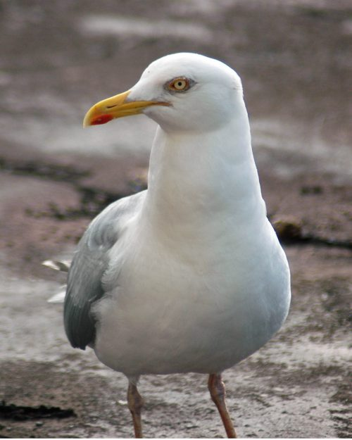 7-1912tgnw-adult-gull-front-view