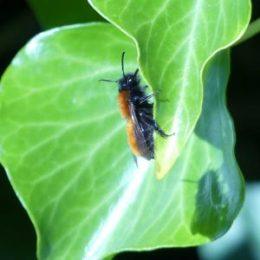 170401-ROSGD-1612-Tawny Mining bee (2)