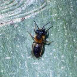 Tawny Mining Bees & the Bee-fly | everyday nature trails