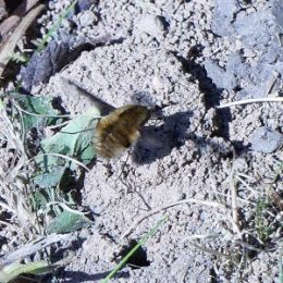 Bee-fly approaching Tawny Mining Bee's nest