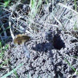 Bee-fly using its long legs to flick her eggs into the Tawny Mining Bee's nest