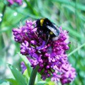 Buff-tailed bumblebee on valerian