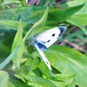 Small White (f) on valerian leaves