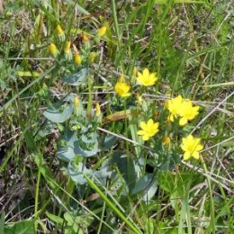 Yellow wort-Blackstonia perfoliata