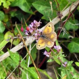 Gatekeeper on Marjoram- fruits of Herb Robert behind