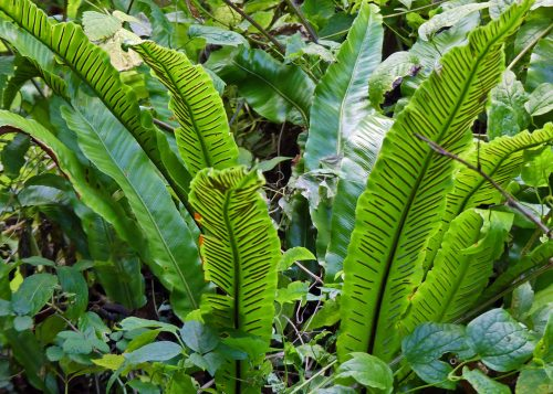harts tongue fern everyday nature trails