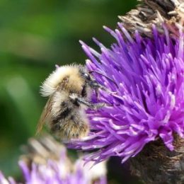 Common carder bee-bleached